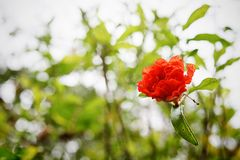 Red  Malvaceae. Red malvaceae with bokeh. The asia flower Stock Photos