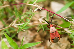 The red man-faced bug or Catacanthus Incar natus Drury Stock Images