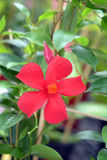 Red mandevilla flower Stock Photos