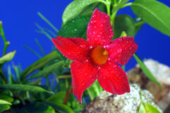 Red Mandevilla flowers Stock Photos