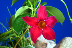 Red Mandevilla flowers Royalty Free Stock Photo