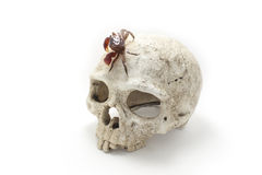 Red Mangrove Crab on Human skull ISOLATED. Old jawless Human Skull isolated against white background with a Red Mangrove Crab on it. Anatomy illustration royalty free stock photo