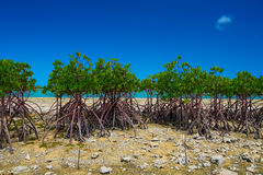 Red Mangrove in KAWAMITSU-Rhizophora mucronata, Okinawa Prefectu Royalty Free Stock Images