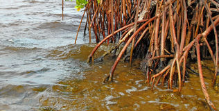 Red mangrove roots Royalty Free Stock Photo