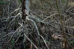 Red mangrove roots in the Everglades Stock Photo