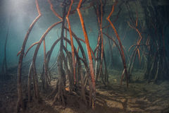 Red Mangrove Roots In Raja Ampat Royalty Free Stock Photography