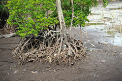 Red Mangrove Roots Stock Image