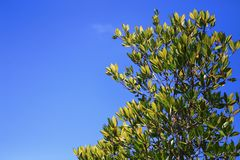 Red mangrove tree on blue sky background Royalty Free Stock Photo