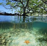 Red mangrove tree split over and under sea surface. Split shot of a red mangrove tree over and under sea surface with its roots and a starfish underwater Stock Photos