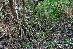 Red Mangrove trees Royalty Free Stock Images