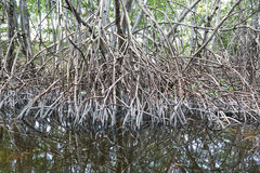 Red Mangrove trees Stock Photo