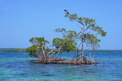 Red mangrove trees in water of the Caribbean sea. Archipelago of Bocas del Toro, Panama, Central America royalty free stock photo