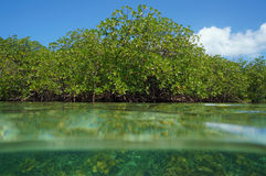 Red mangrove viewed from sea surface Stock Photos