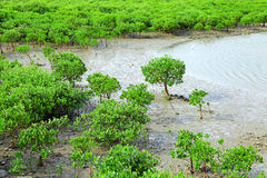 Red Mangroves royalty free stock photography