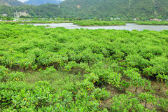 Red Mangroves Stock Photo
