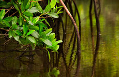 Red Mangroves in calm water Royalty Free Stock Photography
