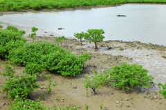 Red Mangroves forest stock photography