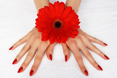 Red Manicure With Gerbera Royalty Free Stock Photo