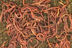 Red manure worms background Stock Photo