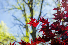 Red Mapel leaf Stock Images