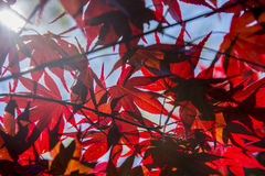 Red Mapel leaf Stock Photos