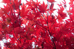 Red Maple Royalty Free Stock Photography