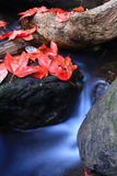 Red Maple Stock Image