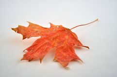 Red Maple Royalty Free Stock Photo