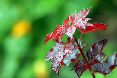 Red maple Royalty Free Stock Images