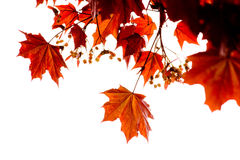 Red maple Stock Photo