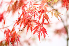 Red maple. Leafs in fall, shallow depth of field Royalty Free Stock Photos