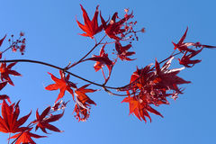 Red maple. A barb of red maple Stock Photos