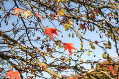Red maple acer leaves in autumn Royalty Free Stock Images