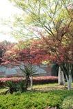 Red Maple(Acer palmatum Thunb) Stock Image