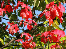 Red maple (Acer rubrum) Stock Photography