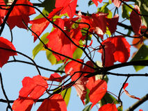 Red maple (Acer rubrum) Stock Photo