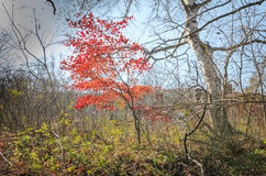 Red maple against the blue sky Royalty Free Stock Photography