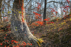 Red maple against the blue sky Stock Photography