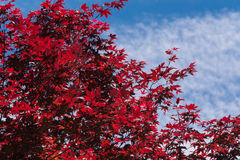Red Maple Against the Sky Royalty Free Stock Image