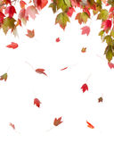 Red Maple in Autumn Colors Stock Images