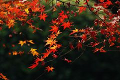 Red maple in autumn. Red maple on the dark background Stock Photography