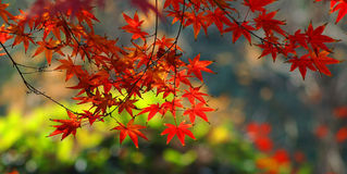 Red maple in autumn. Red maple leaves in autumn Royalty Free Stock Images