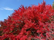 Red Maple Autumn Sky. Red Maple Tree in Autumn-Reaching for the Sky in the Appalachian Mountains Royalty Free Stock Image