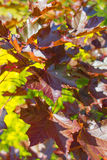 Red Maple Royalty Free Stock Photos