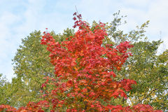 Red maple in autumn. Stock Images