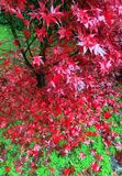 Red maple Stock Photography