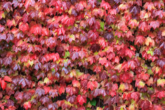 Red maple background. Red maple wall  background in autumn Royalty Free Stock Photography