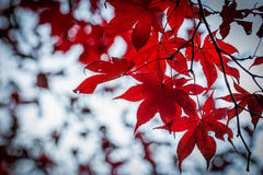 Red maple in blur background. Royalty Free Stock Photos
