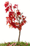 Red maple bonsai. In grass isolated on white background Stock Photos