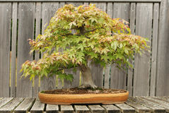 Red Maple Bonsai Tree. At Hidden Lake Gardens, American midwest, Michigan, Michigan State University, MSU, tipton, planter, nature stock photo